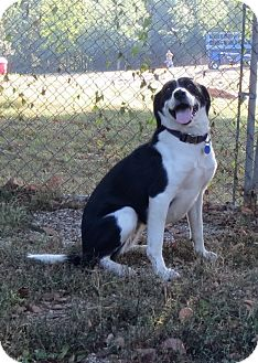 Border Collie/Labrador Retriever Mix Dog for adoption in Geneseo, Illinois - Molly
