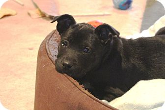 Labrador Retriever/Shepherd (Unknown Type) Mix Puppy for adoption in Marietta, Georgia - Snap