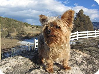 Silky Terrier Mix Dog for adoption in Ridgway, Colorado - Cooper