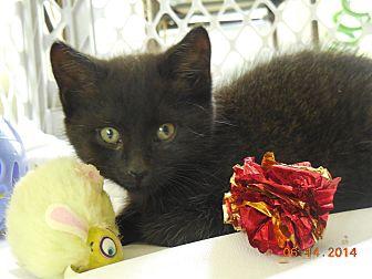 Domestic Shorthair Kitten for adoption in CARVER, Massachusetts - May