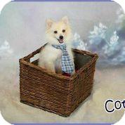 Pomeranian Puppy for adoption in conroe, Texas - Cotton