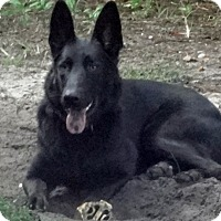 Adopt A Pet :: Black Beauty - Green Cove Springs, FL