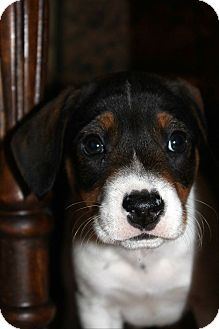 Beagle/Feist Mix Puppy for adoption in Cincinnati, Ohio - Thanksgiving Pup: Corabell