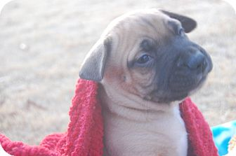 Boxer/Bulldog Mix Puppy for adoption in CHAMPAIGN, Illinois - BUSTER