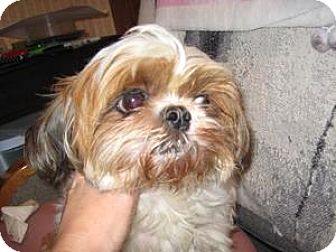 Shih Tzu Dog for adoption in Arlington Heights, Illinois - Baby