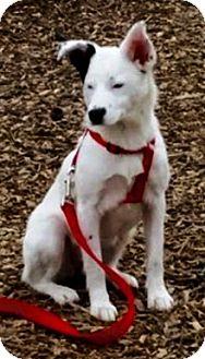 Husky/Shiba Inu Mix Puppy for adoption in Oswego, Illinois - Echo