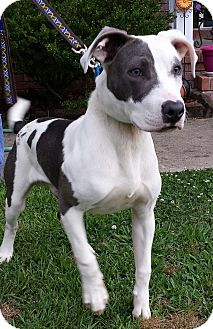 Pit Bull Terrier/Labrador Retriever Mix Dog for adoption in Sneads Ferry, North Carolina - Blue