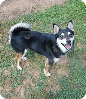 Chihuahua Mix Dog for adoption in Windham, New Hampshire - Juneau (POM-HF)