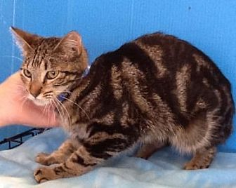 Domestic Shorthair Cat for adoption in Houston, Texas - Allison