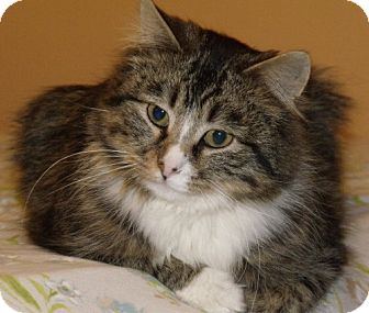 Maine Coon Cat for adoption in Lisbon, Ohio - Buckeye - ADOPTED!