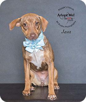 Dachshund/Miniature Pinscher Mix Dog for adoption in Seattle, Washington - Java