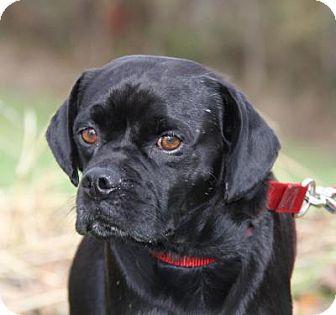 Pug Mix Dog for adoption in Marietta, Ohio - Ollie (Neutered)