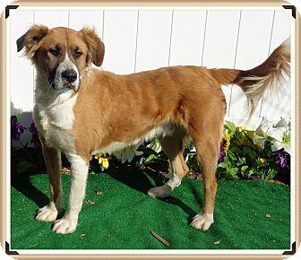 St. Bernard Mix Dog for adoption in Marietta, Georgia - BARNEY (R)
