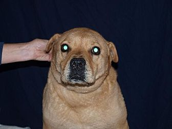 Shar Pei/Chow Chow Mix Dog for adoption in Port Clinton, Ohio - Zoey