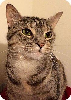 Domestic Mediumhair Cat for adoption in Mansfield, Texas - Lulu