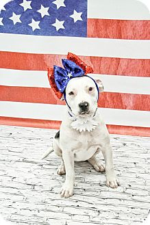 American Pit Bull Terrier Mix Puppy for adoption in West Allis, Wisconsin - Ophelia