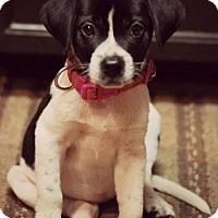 Adopt A Pet :: Thalia-being fostered2adopt - Fredericksburg, VA