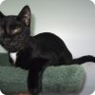 Domestic Shorthair Cat for adoption in Powell, Ohio - Chandler