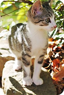 Domestic Shorthair Kitten for adoption in Chattanooga, Tennessee - Fili