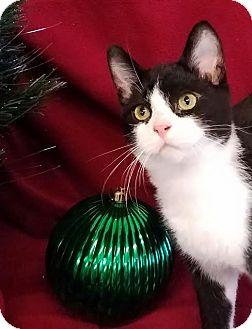 Domestic Shorthair Kitten for adoption in Colfax, Iowa - Cash