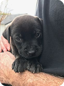 Labrador Retriever Mix Puppy for adoption in New York, New York - Cypress