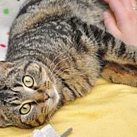Adopt A Pet :: Chipette - mishawaka, IN
