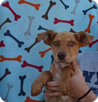 Australian Shepherd/Labrador Retriever Mix Puppy for adoption in Oviedo, Florida - Roxy