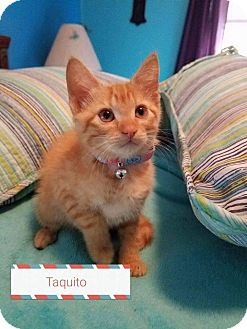 Domestic Shorthair Kitten for adoption in Mansfield, Texas - Taquito