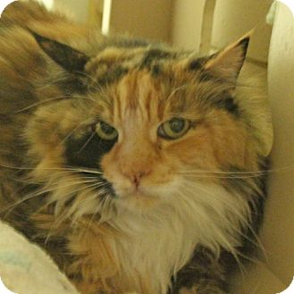 Maine Coon Cat for adoption in Walnut Creek, California - Sophie