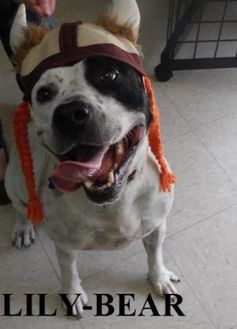 American Staffordshire Terrier Mix Dog for adoption in Franklin, North Carolina - LILY BEAR
