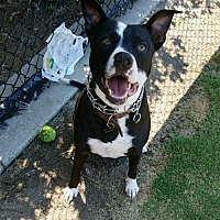 Adopt A Pet :: ZZ-Callie *courtesy post - Rancho Santa Margarita, CA