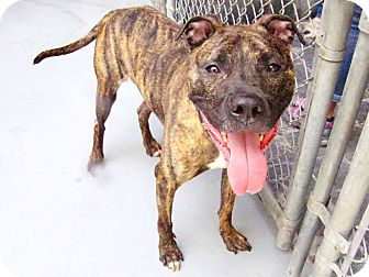 Pit Bull Terrier/Mixed Breed (Medium) Mix Dog for adoption in Philadelphia, Pennsylvania - Bentley ($20 Adoption Special)