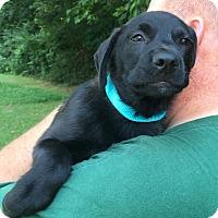 Labrador Retriever Mix Puppy for adoption in Foster, Rhode Island - Sundance