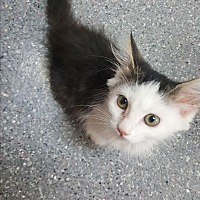 Adopt A Pet :: Olli - yuba city, CA