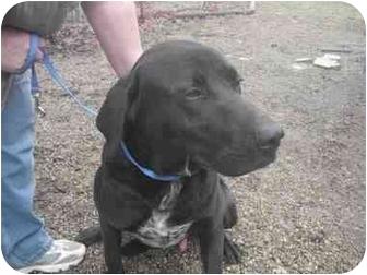 Labrador Retriever Mix Dog for adoption in Ortonville, Michigan - Slade
