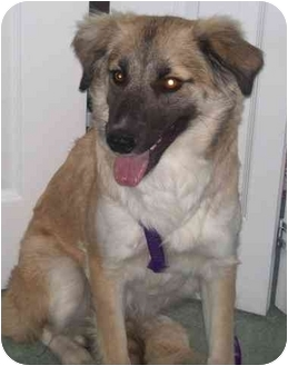 Belgian Tervuren/Collie Mix Dog for adoption in Saskatoon, Saskatchewan - Chelsea