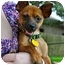 Photo 1 - Chihuahua Puppy for adoption in Austin, Texas - Harry