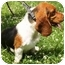 Photo 1 - Basset Hound Dog for adoption in Osseo, Minnesota - Priscilla