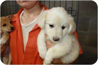 Collie Mix Puppy for adoption in Hainesville, Illinois - Taffy
