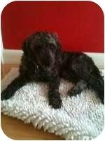 Poodle (Miniature) Dog for adoption in Melbourne, Florida - ILLIANA