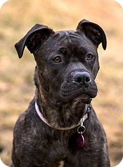 American Pit Bull Terrier/Boxer Mix Dog for adoption in Wasilla, Alaska - Coraline