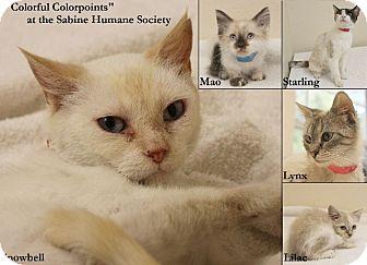 Snowshoe Kitten for adoption in Haughton, Louisiana - Sabine kill shelter (kittens)