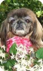 Pekingese Dog for adoption in Tyler, Texas - Roxy