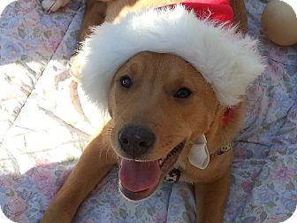 Labrador Retriever/Catahoula Leopard Dog Mix Puppy for adoption in Richmond, Virginia - Powell