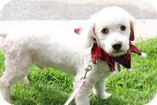 Bichon Frise/Poodle (Miniature) Mix Puppy for adoption in Santa Monica, California - Angelo