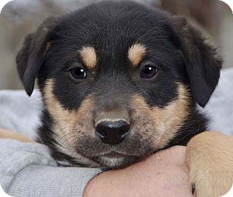 Rottweiler Mix Puppy for adoption in Staunton, Virginia - Kosmo