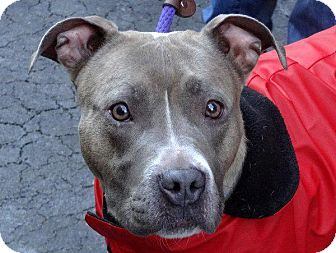 American Pit Bull Terrier Mix Dog for adoption in Nashua, New Hampshire - Jada