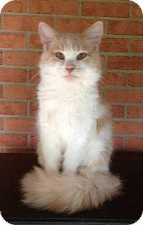 Polydactyl/Hemingway Cat for adoption in Troy, Ohio - John John