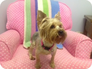 Yorkie, Yorkshire Terrier Dog for adoption in Columbia, South Carolina - Raven