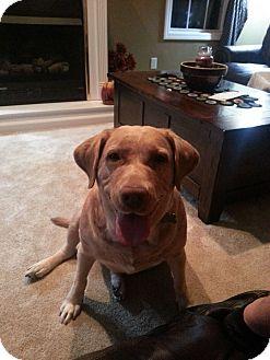 Labrador Retriever Mix Dog for adoption in Morgantown, West Virginia - Sunny